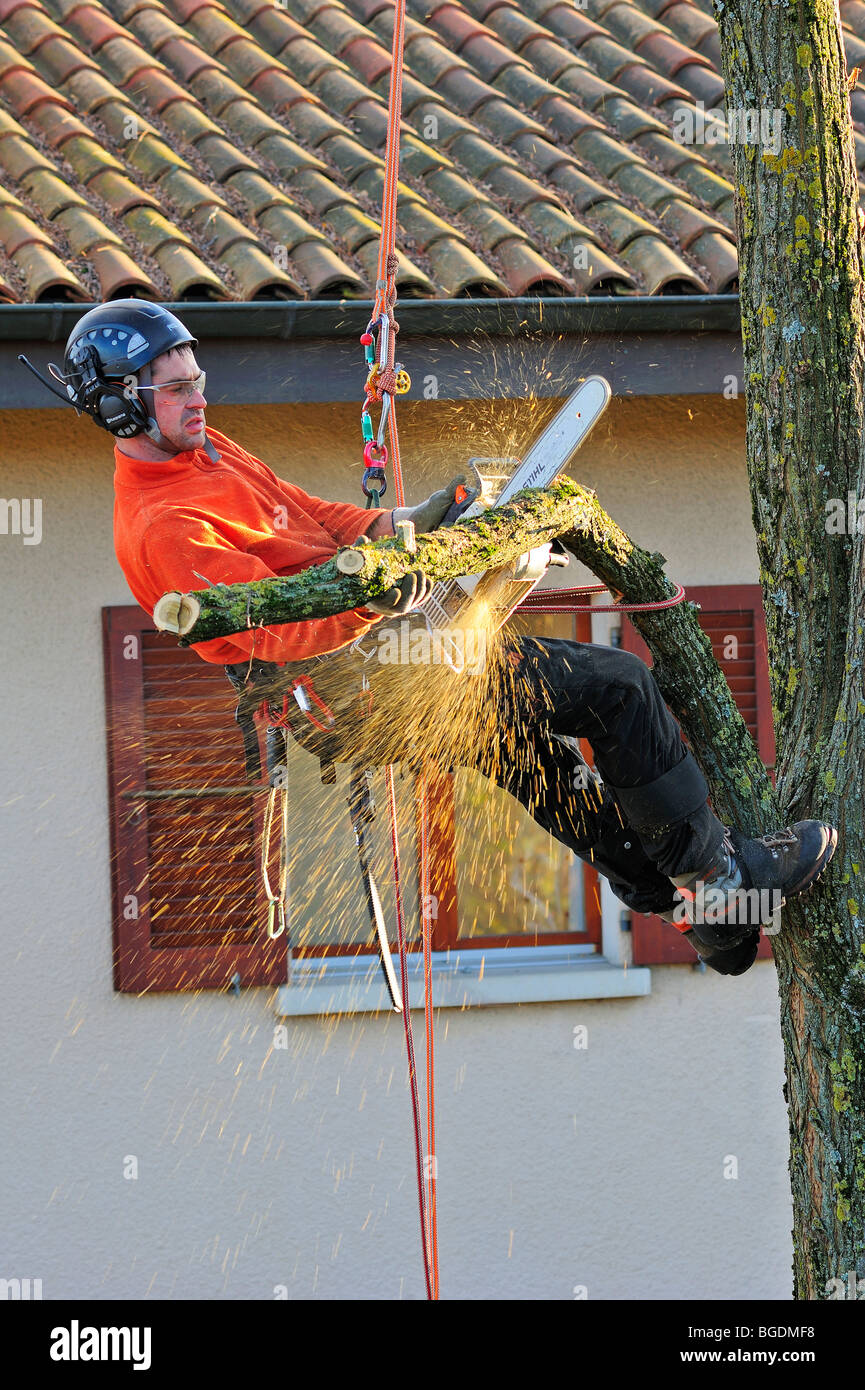 A tree surgeon working high in a garden tree with a house in the background - Stock Image