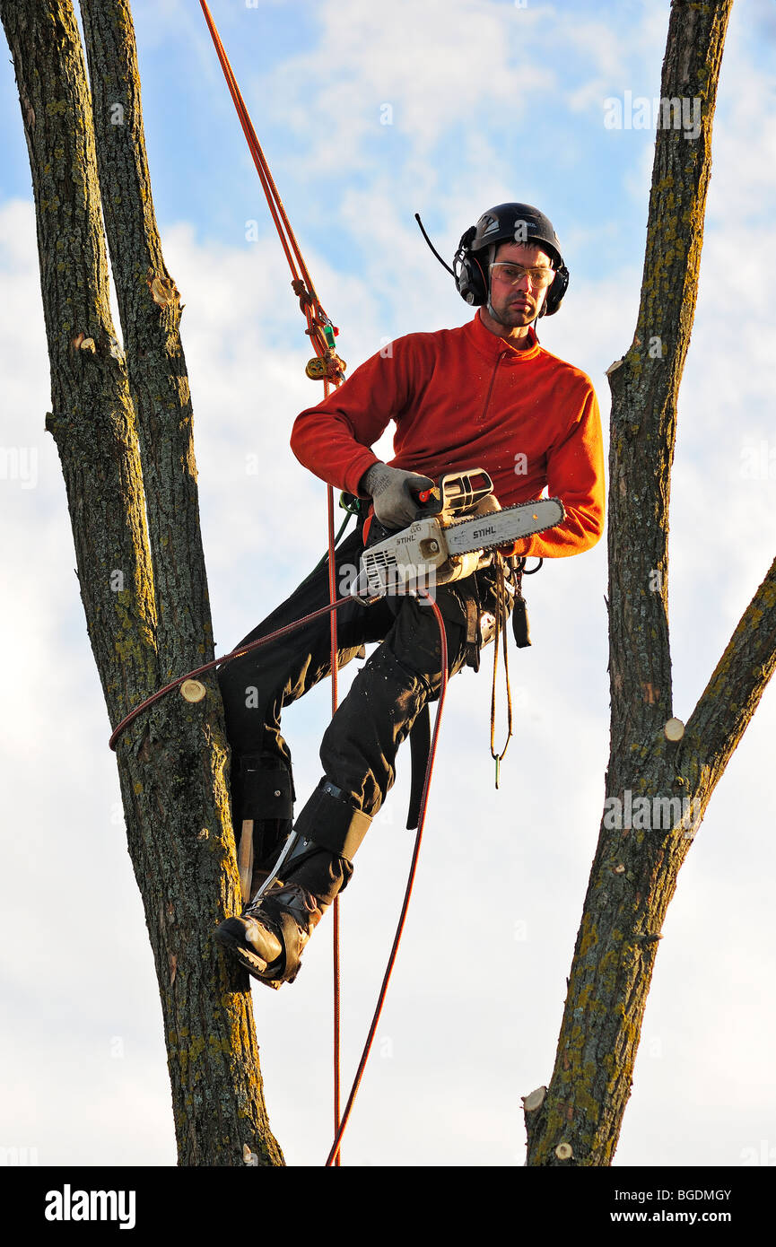 A tree surgeon working high in a tree - Stock Image