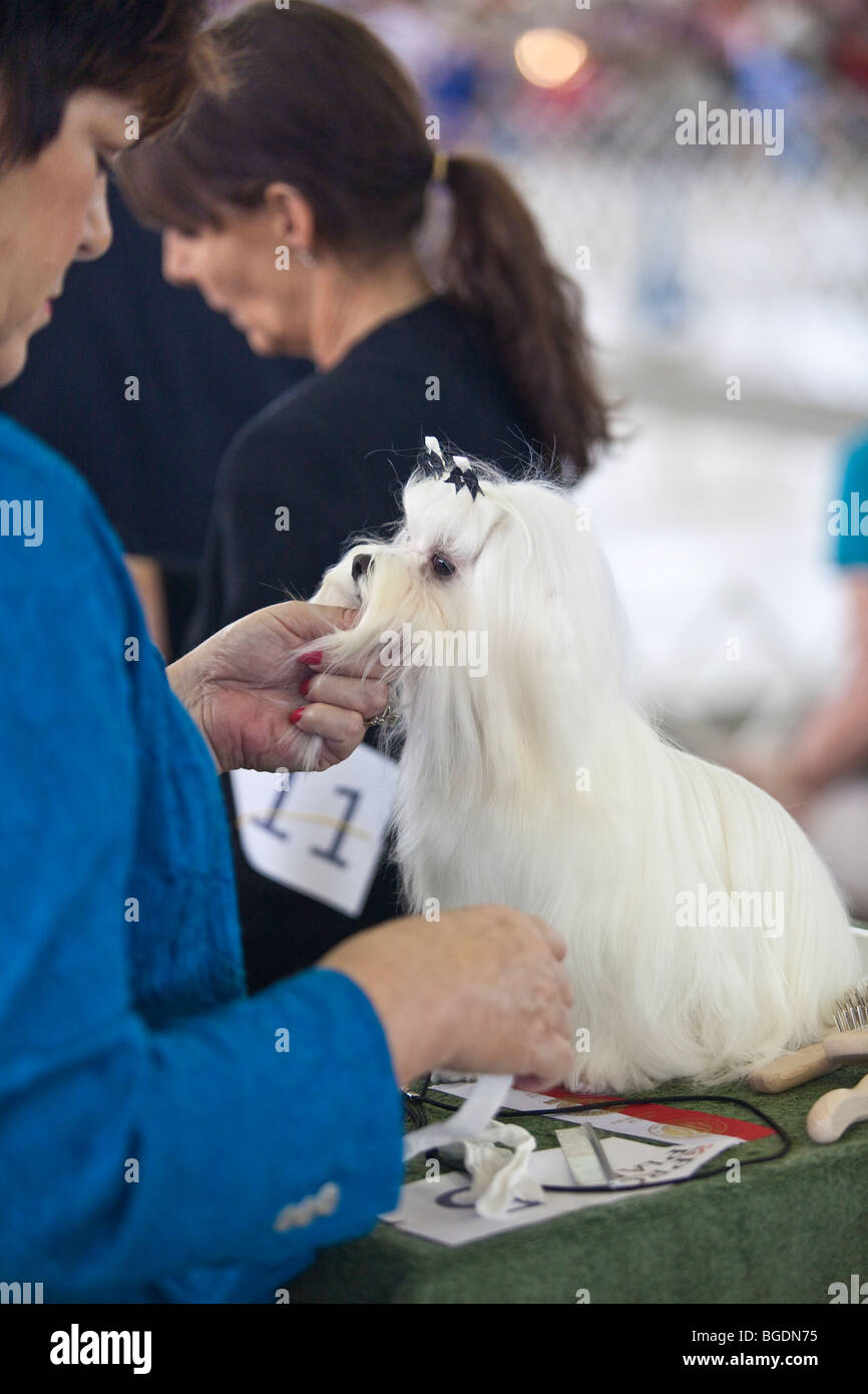 A Maltese Terrier being groomed by it's owner during a dog show in Dallas, Texas - Stock Image