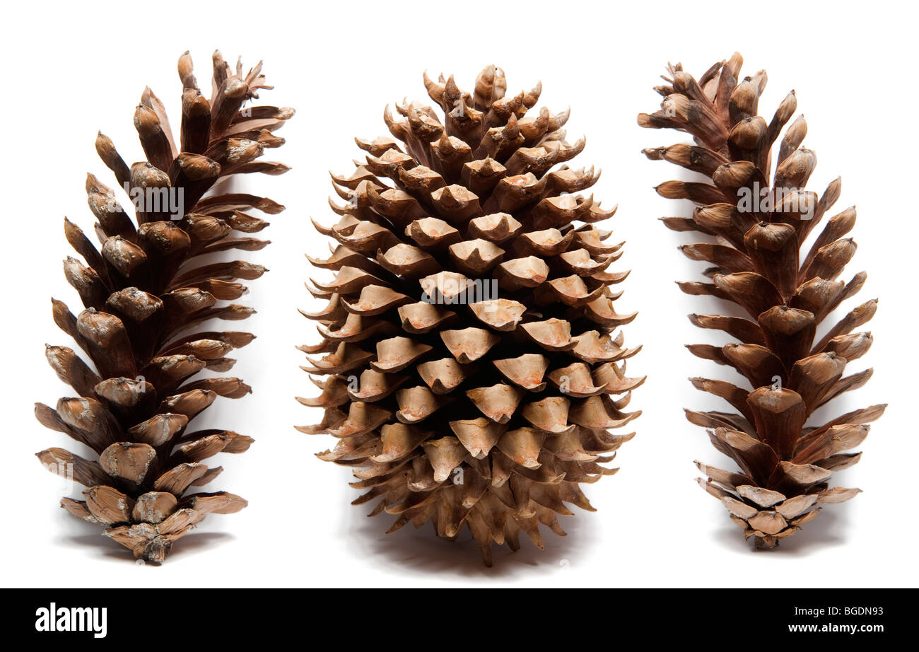 Coulter Pine Cone Stock Photos & Coulter Pine Cone Stock Images - Alamy