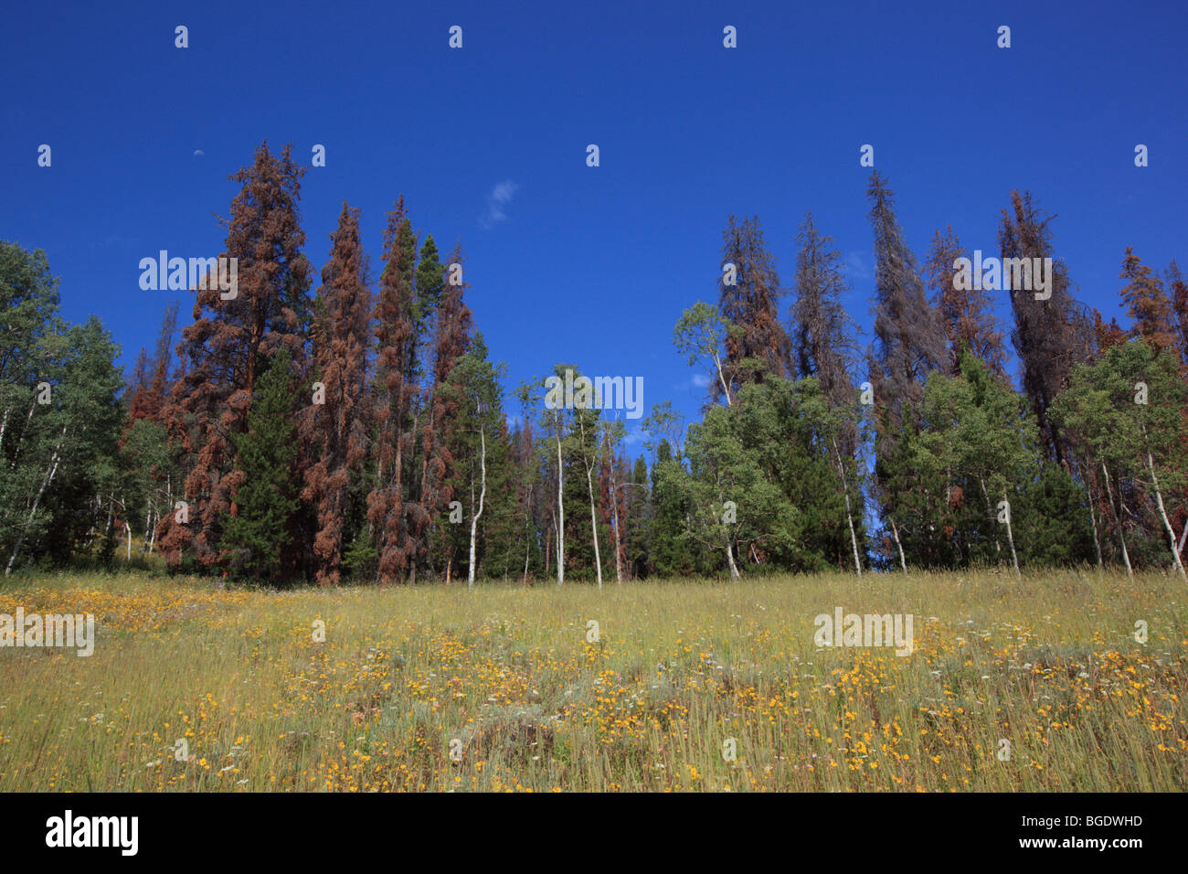 Colorado forest showing lodgepole pine trees killed by the mountain pine beetle - Stock Image