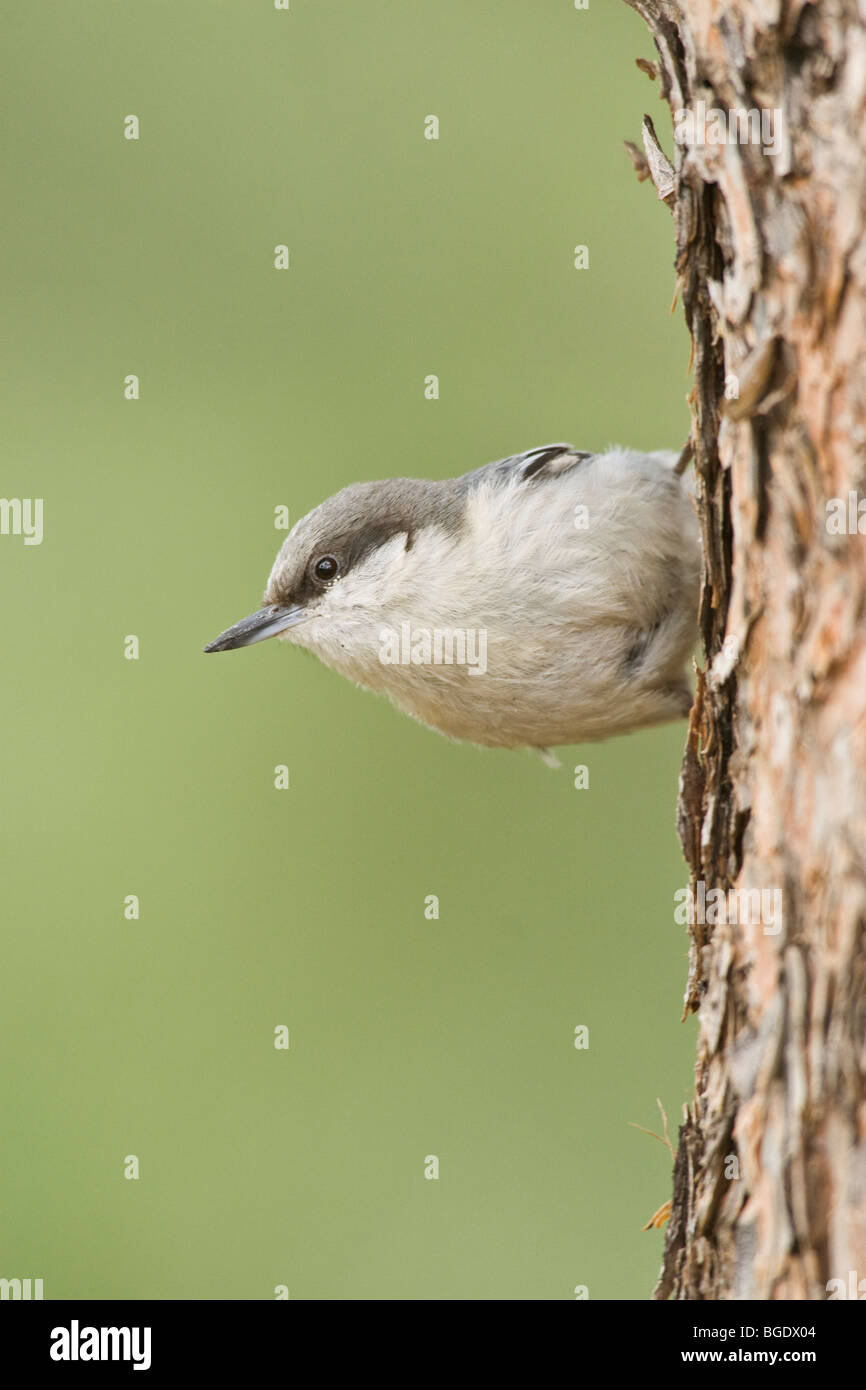 Pygmy Nuthatch - Vertical - Stock Image
