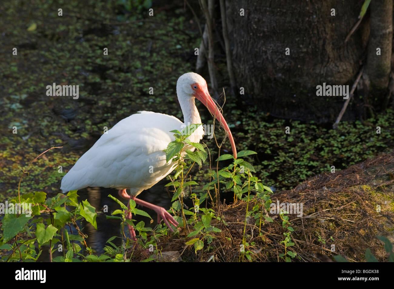 White Ibis in J N Ding Darling National Wildlife Preserve on Sanibel Island Florida - Stock Image
