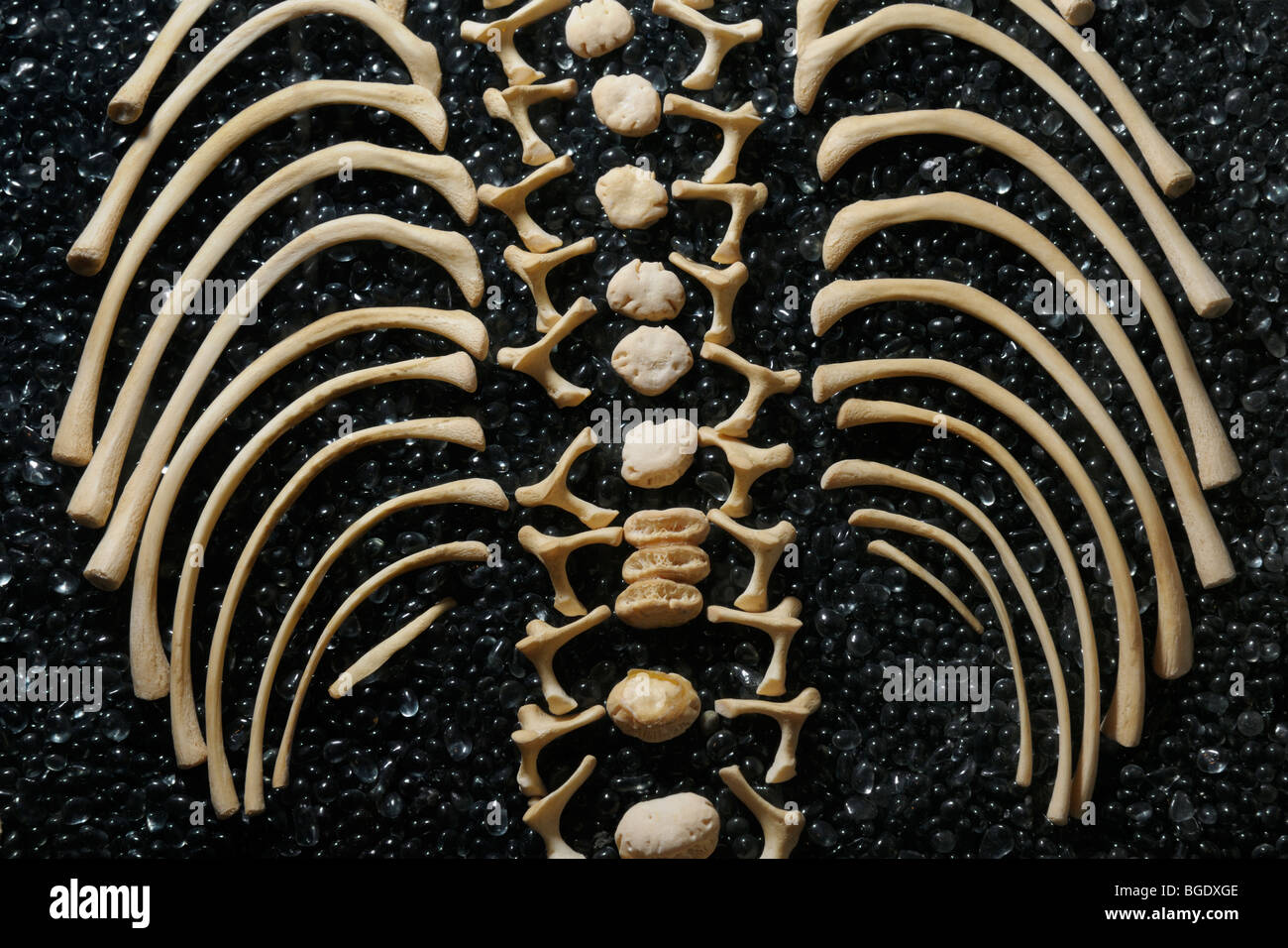 Disarticulated skeleton of a child showing vertebral column and ribs, Smithsonian Museum - Stock Image