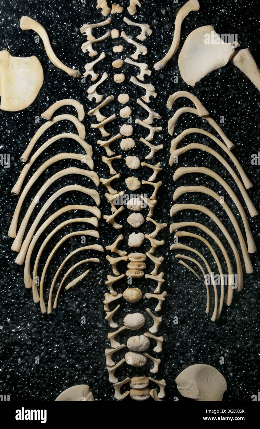 Disarticulated skeleton of a child showing vertebral column and ribs - Stock Image