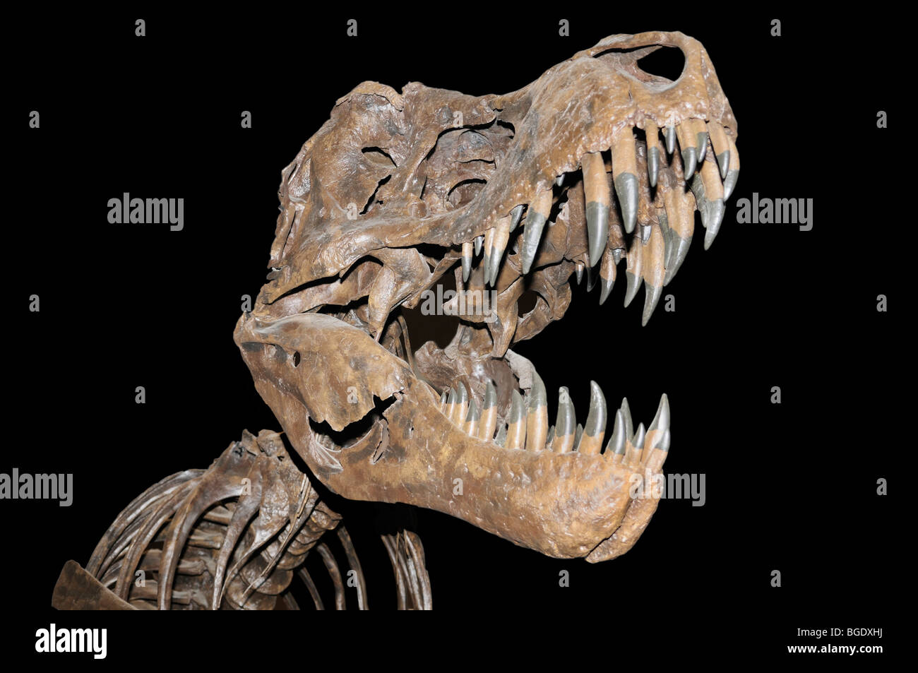 Tyrannosaurus rex skeleton (cast) from the late Cretaceous - Stock Image