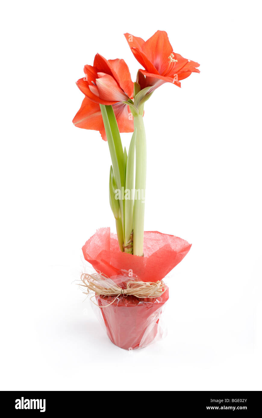 Knight's Star Amaryllis Hippeastrum in gift wrapping Stock Photo