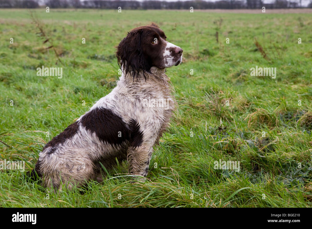 An English Springer Spaniel during a pheasant shoot in Lincolnshire, UK - Stock Image
