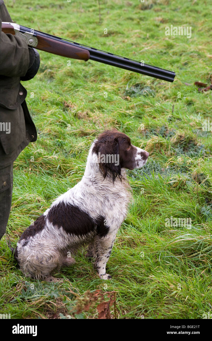 A man with a shotgun and an English Springer Spaniel during a game shoot in Lincolnshire - Stock Image