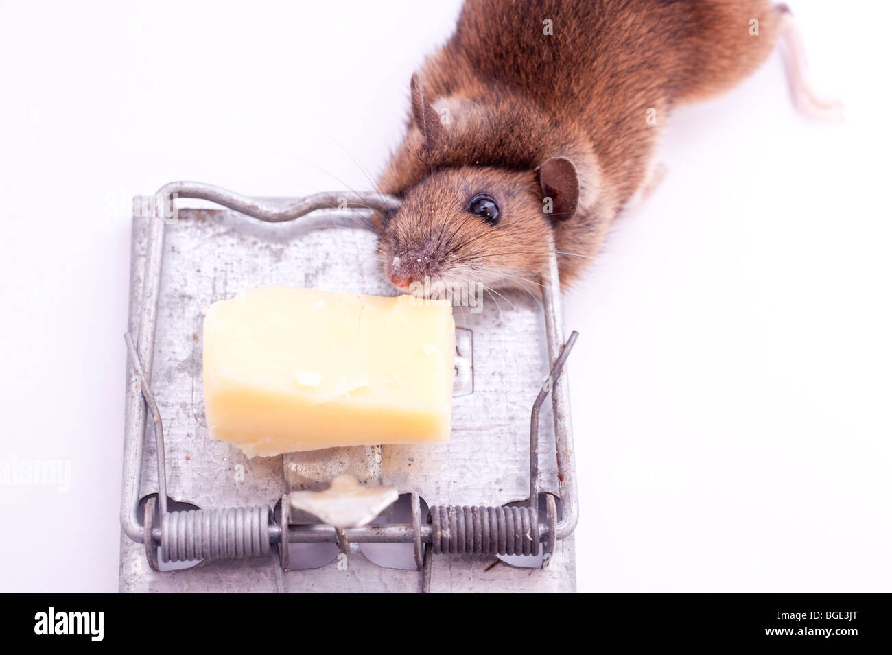 A dead mouse after having been caught in a mouse trap on a white background - Stock Image