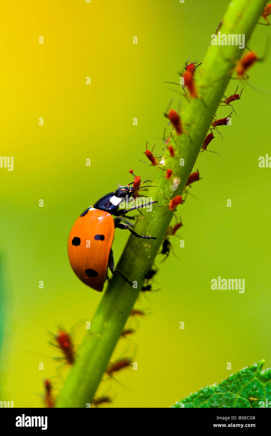 A ladybug eats aphids in a garden. - Stock Image