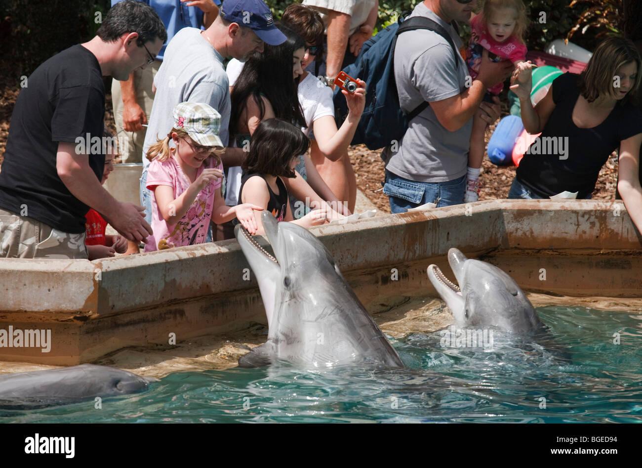 People feed bottlenose dolphins at Seaworld, Orlando, Florida - Stock Image