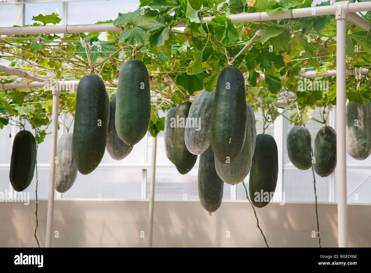 Hydroponics Used To Grow Winter Melons At Epcot Center