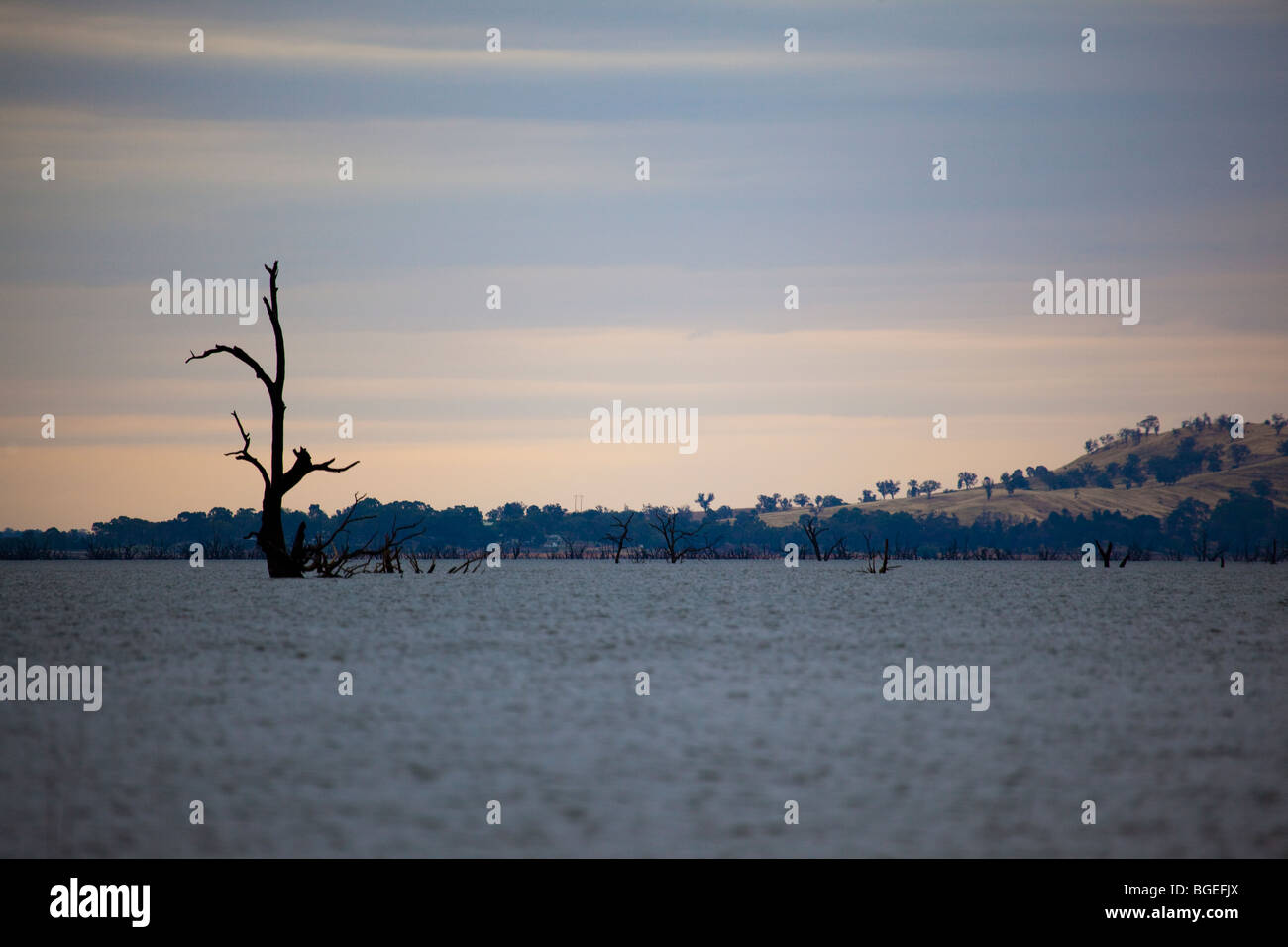 Dead trees in Lake Hume, on the Murray River, Victoria, Australia - Stock Image