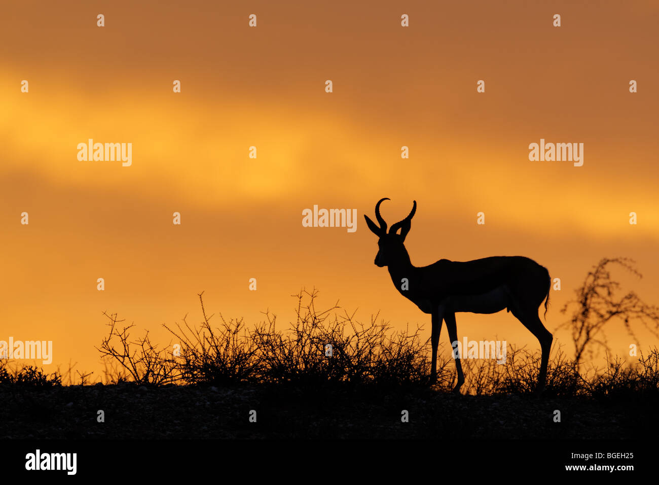 Springbok antelope (Antidorcas marsupialis) silhouetted against a red sky, Kgalagadi Transfrontier Park, South Africa - Stock Image