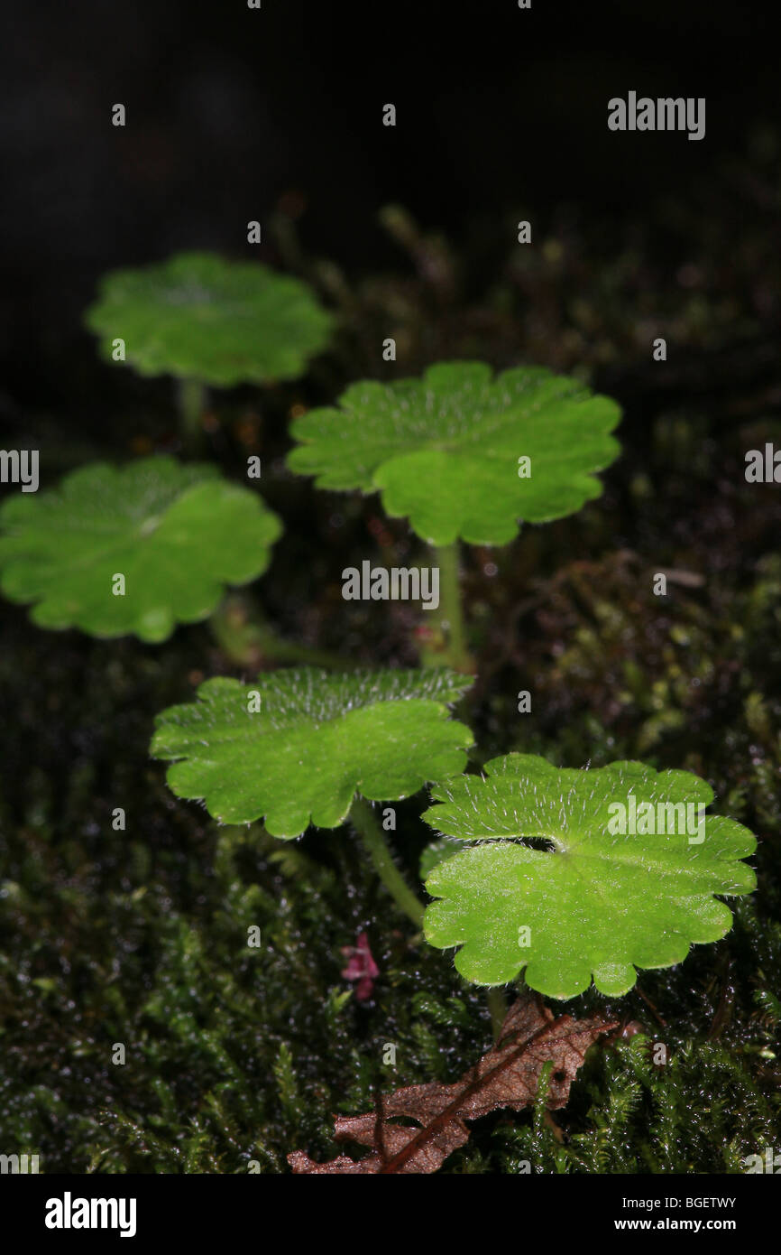 Leaf details on the cloudforest floor in La Amistad national park, Chiriqui province, Republic of Panama. Stock Photo