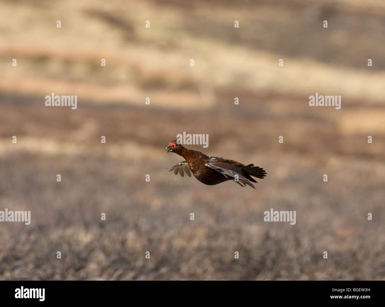Red Grouse in flight - Stock Image