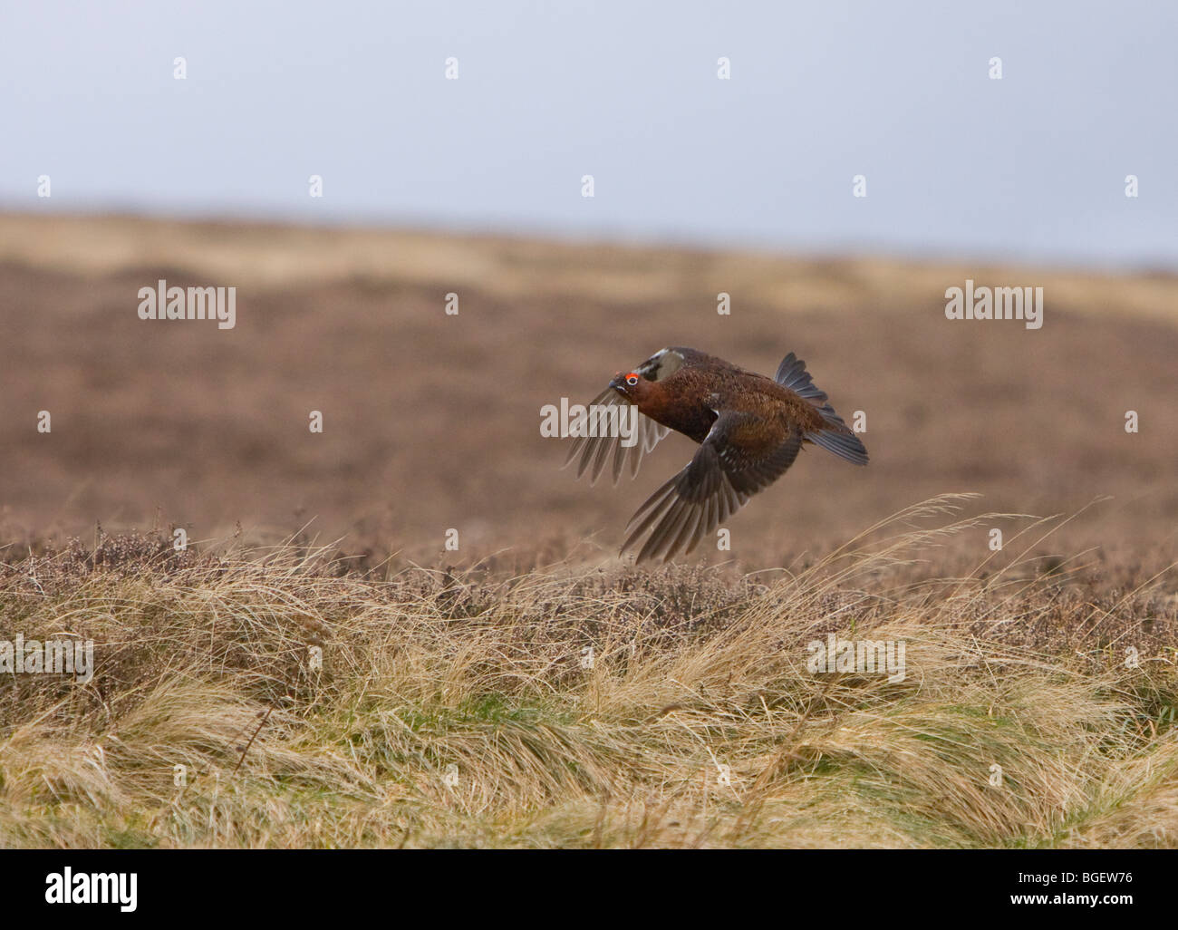 Red Grouse flying - Stock Image