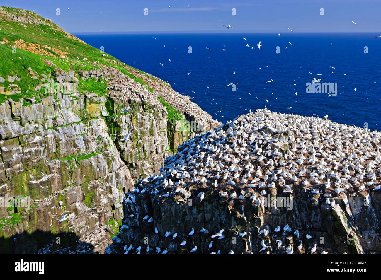 Northern Gannets, Morus bassanus, nesting on Bird Rock at the Cape St Mary's Ecological Reserve, Cape St Mary's, Stock Photo
