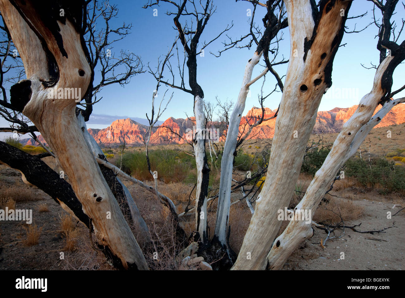 Burned tree and rock formations in Red Rock Canyon National Conservation Area, Nevada - Stock Image