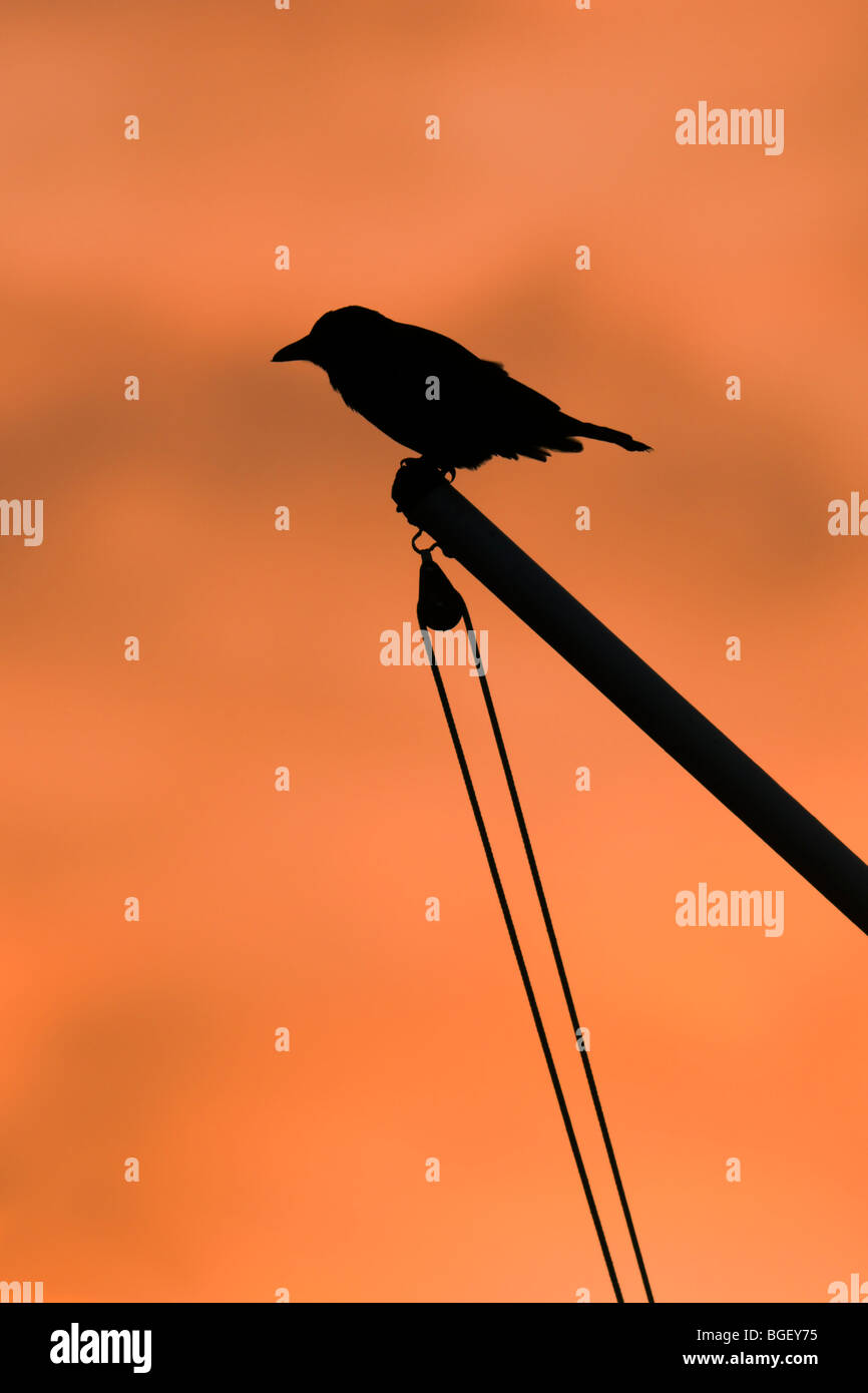 Silhouette of Crow perched on a flagpole at sunrise - Stock Image