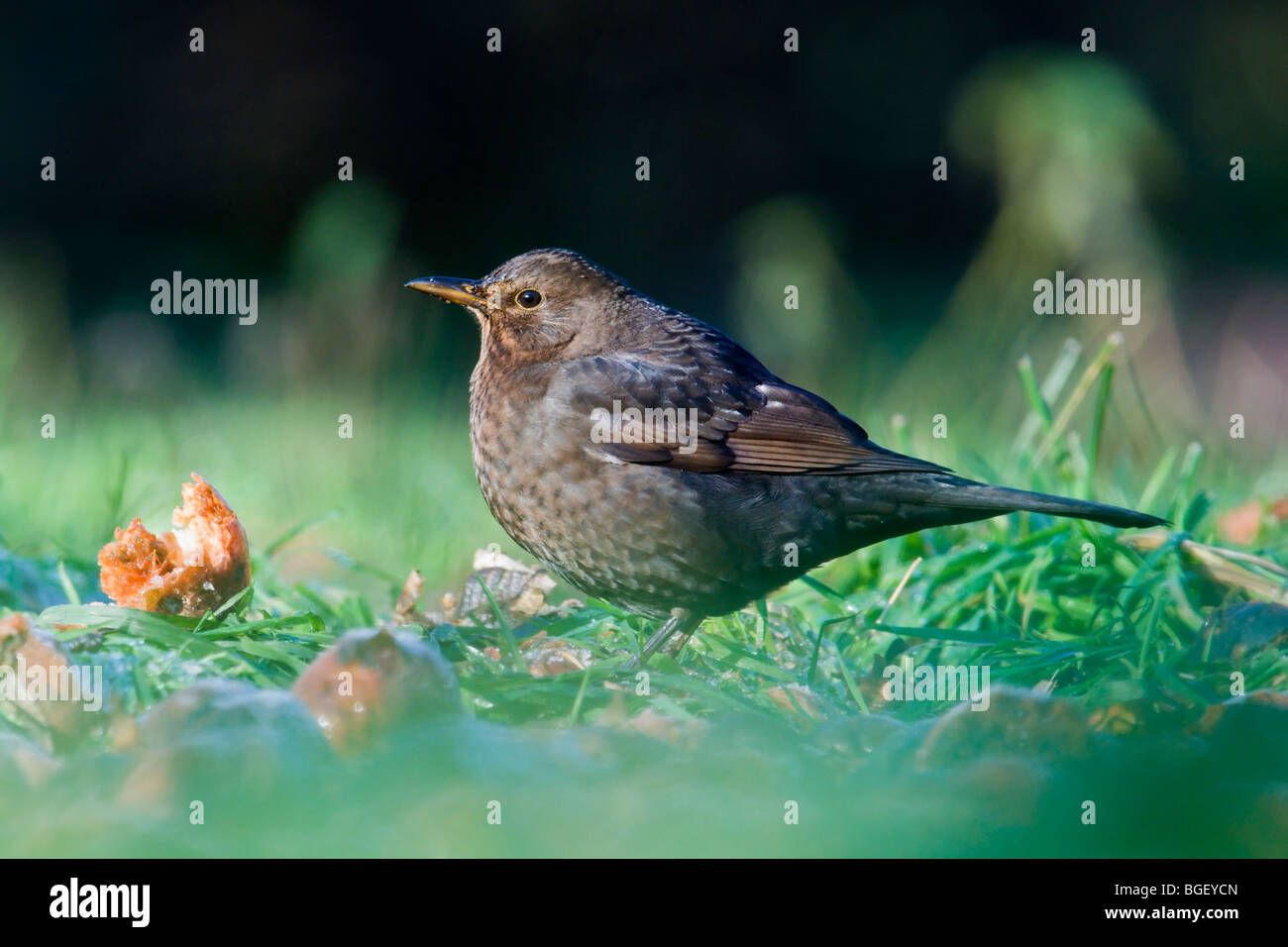 Female Blackbird feeding on rotten cider apples - Stock Image
