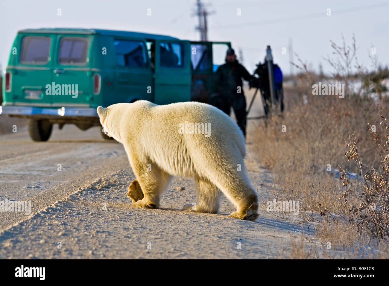 Polar Bear, Ursus maritimus, crossing the road near tourists in Hudson Bay, Churchill, Manitoba, Canada. - Stock Image