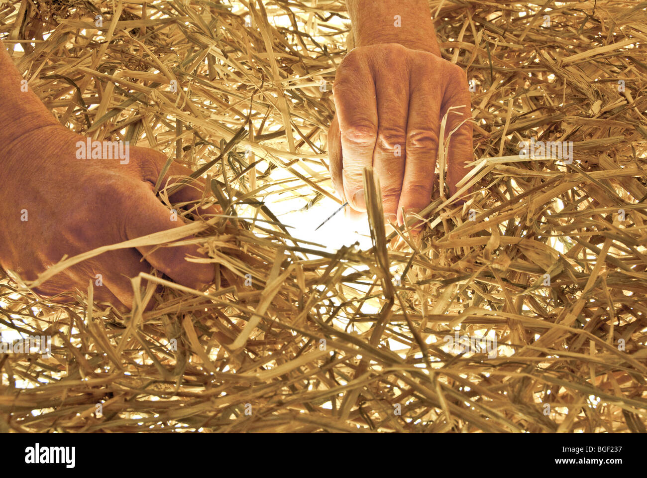 Man searching for a needle in a haystack - Stock Image