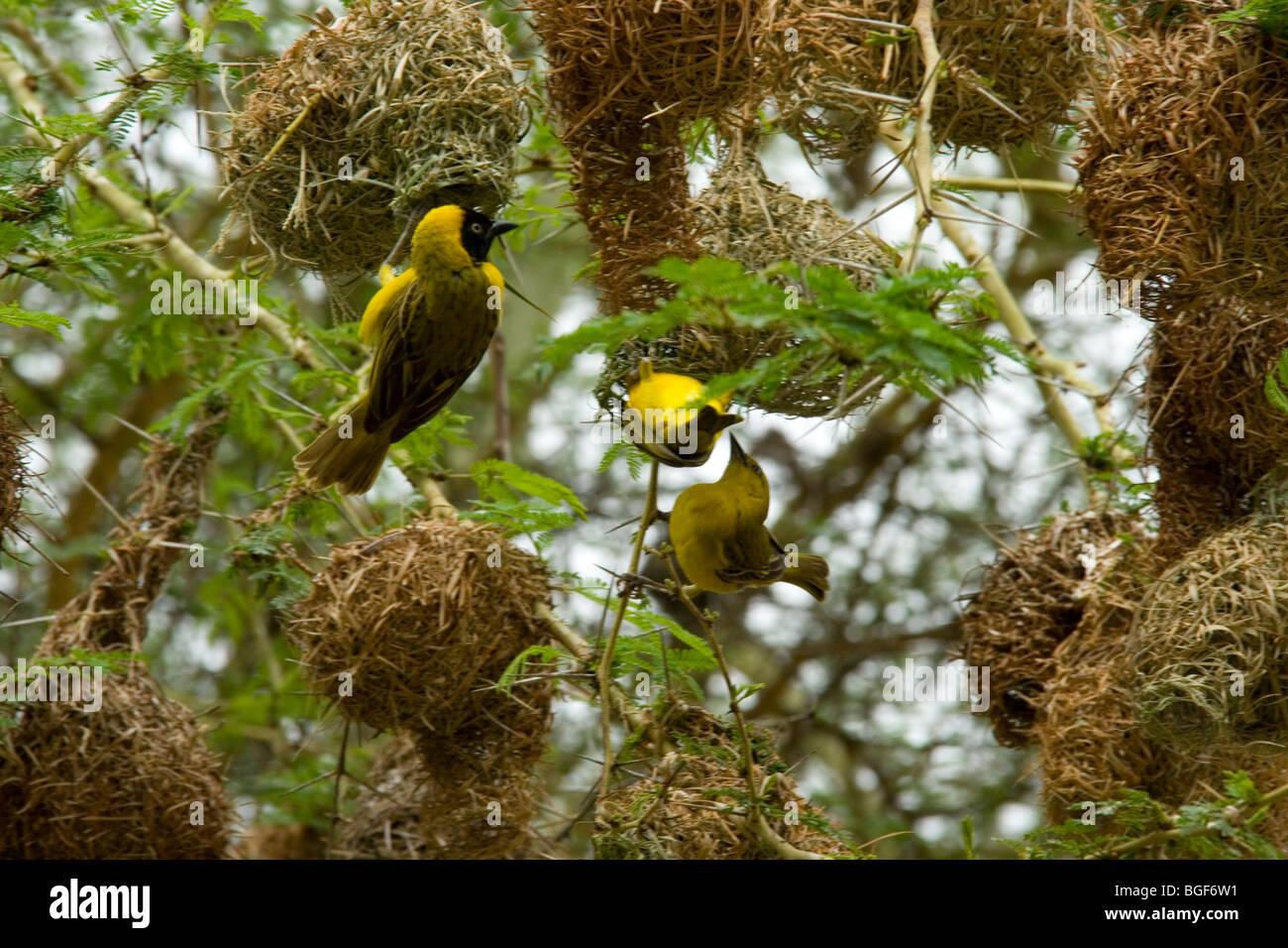 Weaver Bird Nest Stock Photos Weaver Bird Nest Stock Images Alamy