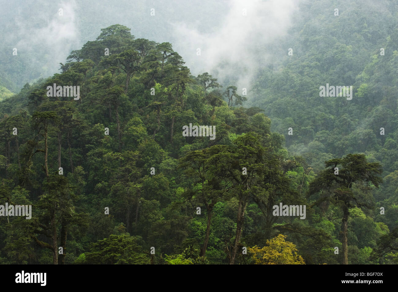 Primary forest, Black Mountain National Park, Bhutan - Stock Image