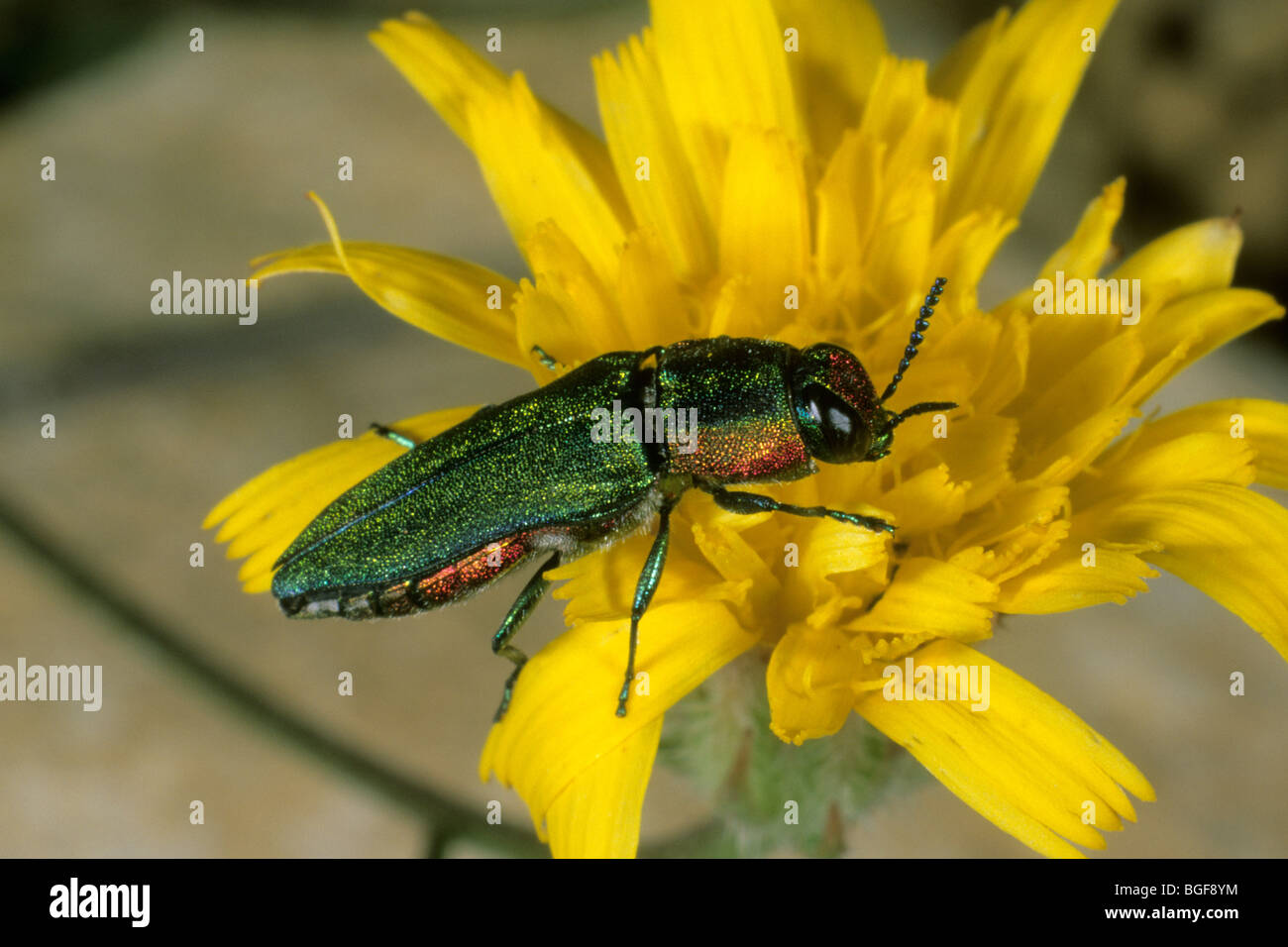 Wood-boring Beetle (Agrilus sp.) on a yellow flower. - Stock Image