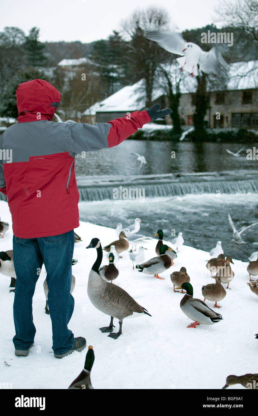 Person feeding ducks and birds in Bakewell  Peak District  Derbyshire after heavy snow December 2009 - Stock Image