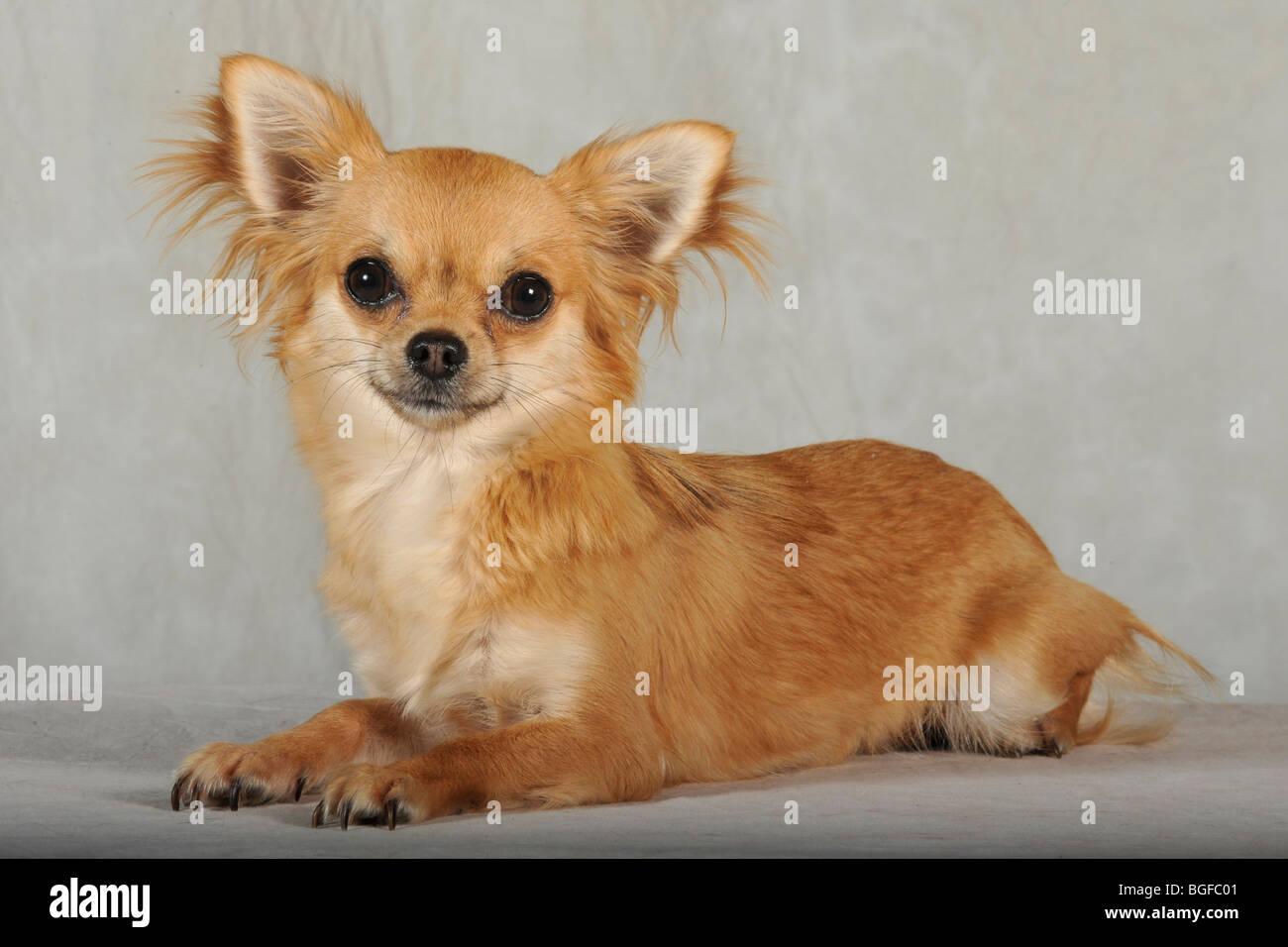 chihuahua dog - Stock Image