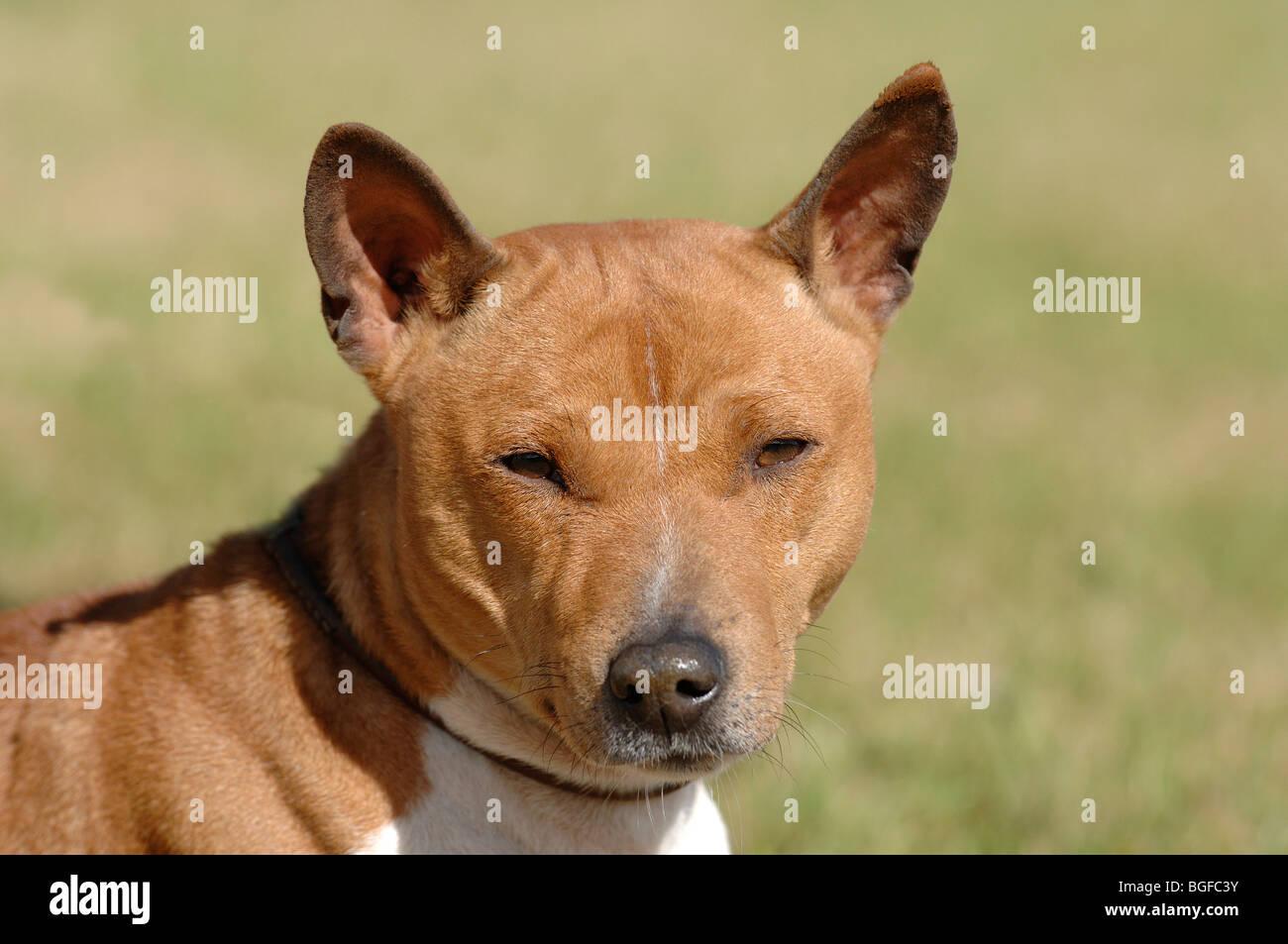 basenji dog - Stock Image