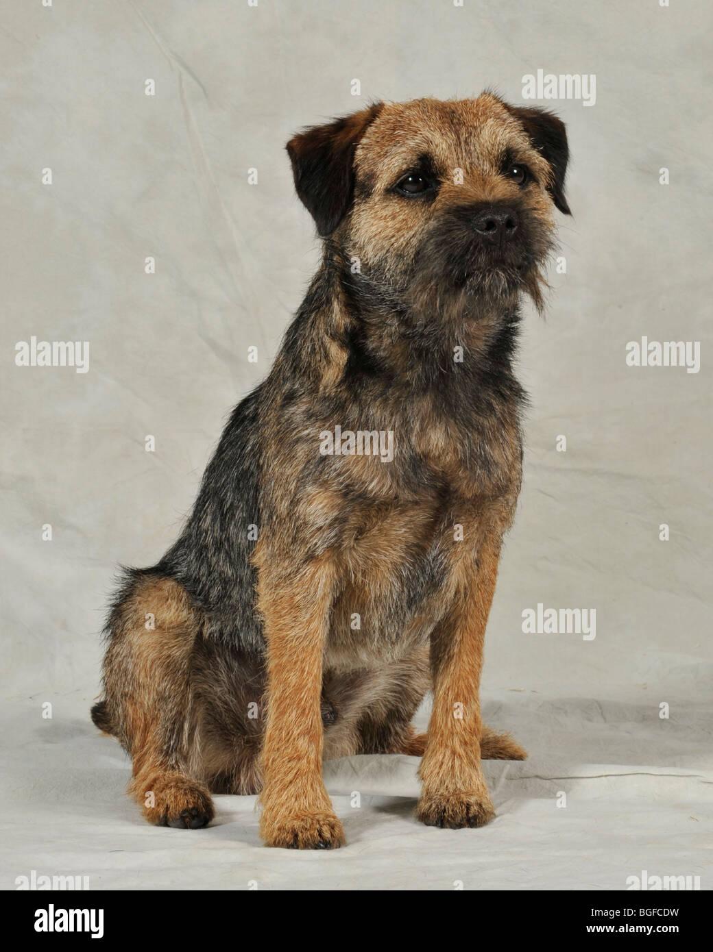 border terrier dog - Stock Image