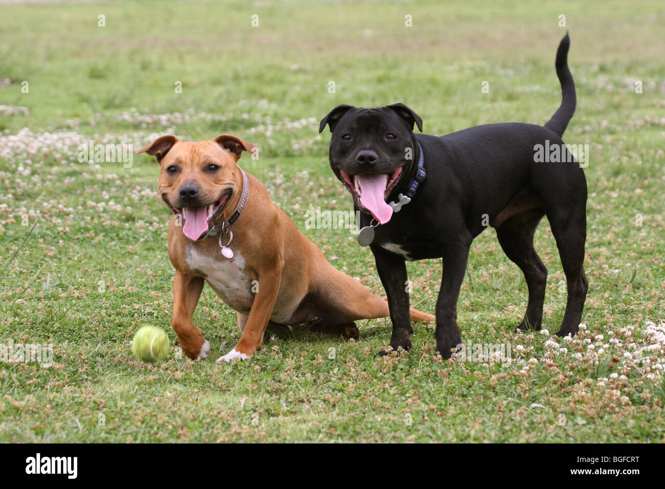 domestic dog Staffordshire terrier - Stock Image