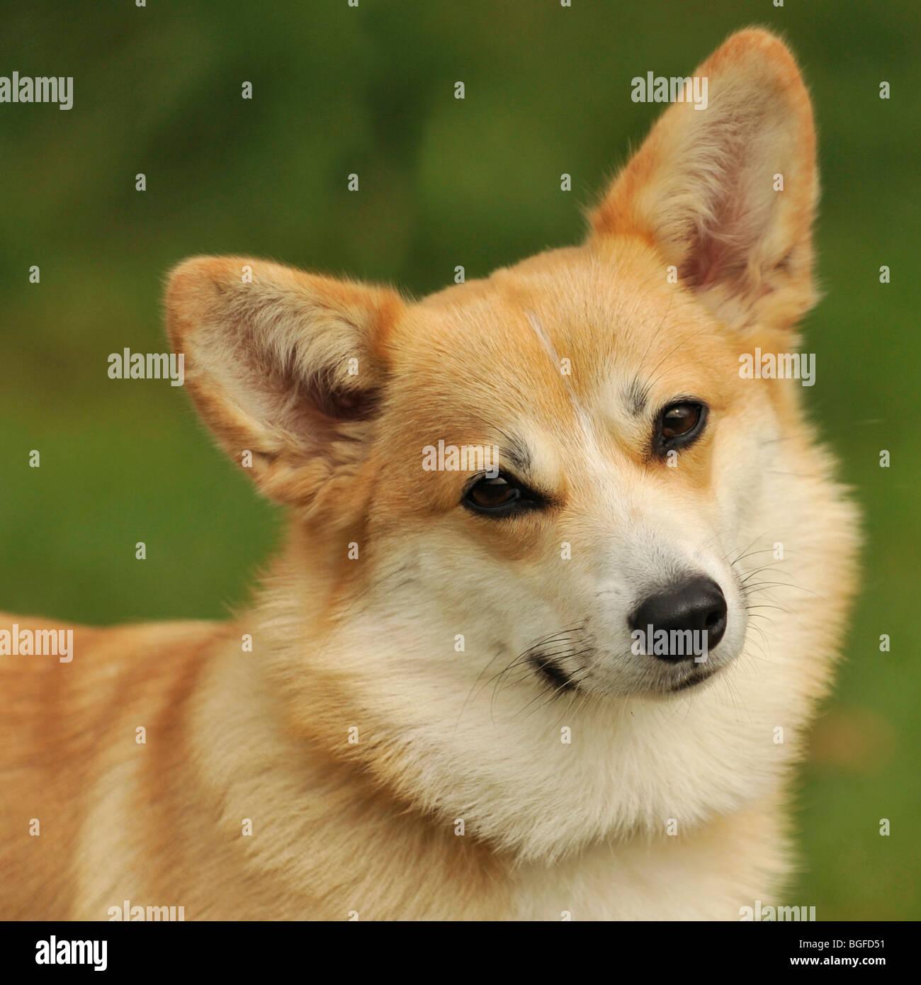 pembroke corgi head study - Stock Image