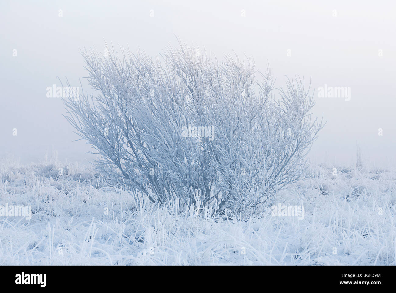 Lonely tree isolated by fog on a cold winter morning - Stock Image