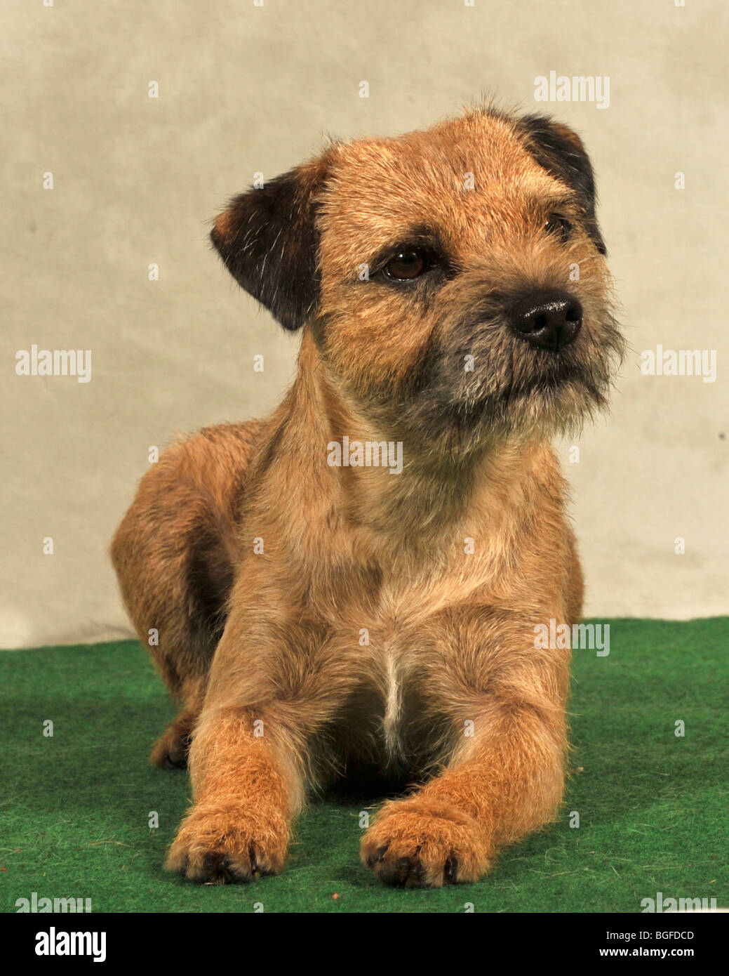 border terrier dog - Stock Image
