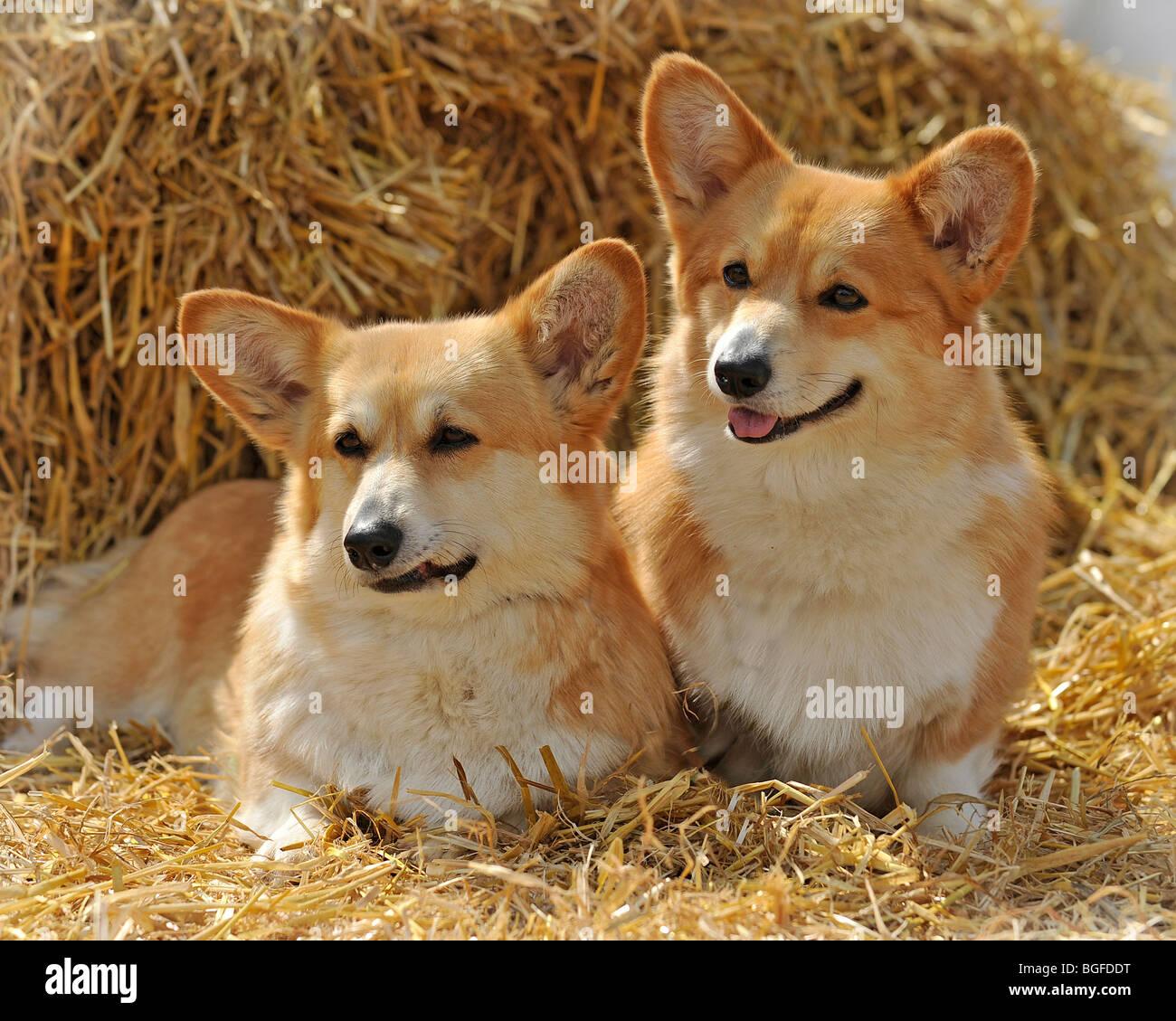 two pembroke corgis - Stock Image