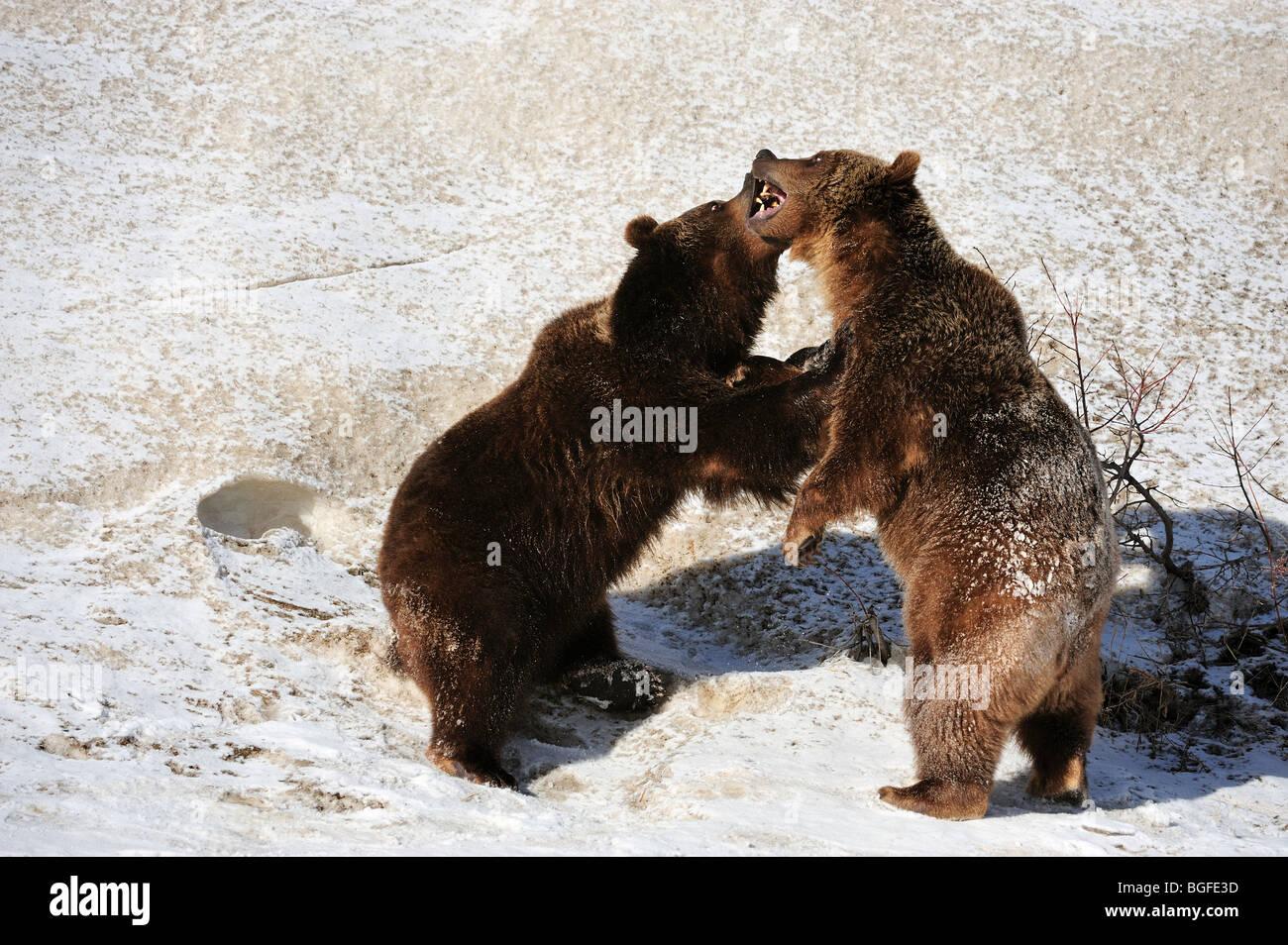 Grizzly bear (Ursus arctos) - captive siblings play fighting, Bozeman, Montana, USA - Stock Image