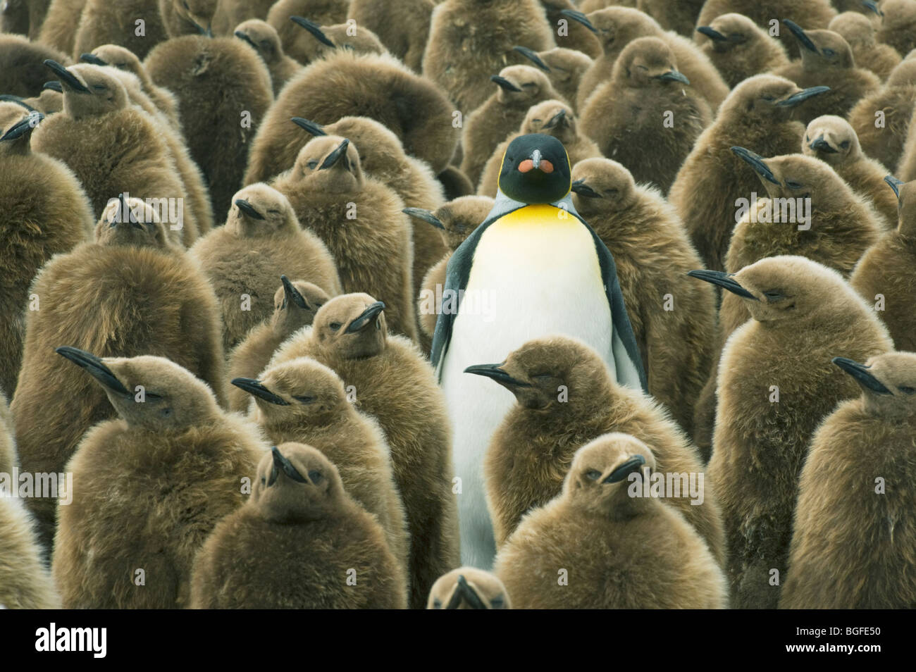 Adult King Penguin (Aptenodytes patagonicus) in with chicks or 'Oakum Boys' Gold Harbour, South Georgia - Stock Image