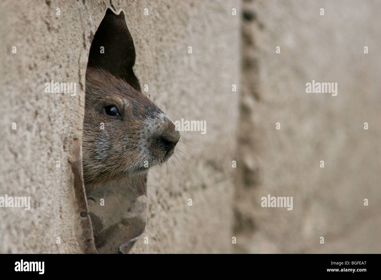 woodchuck concrete wall drain pipe - Stock Image