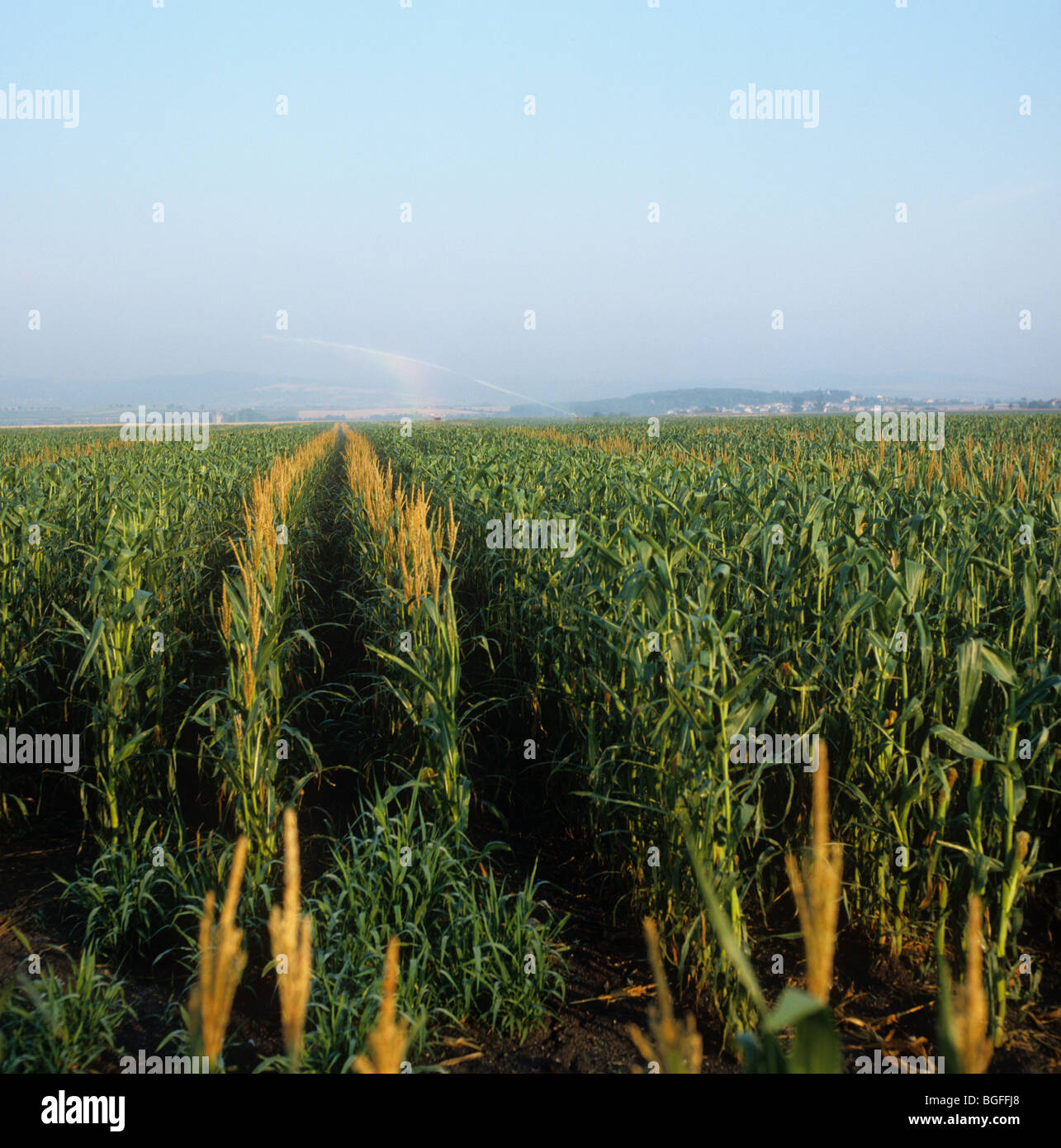 Male maize tassels removed from all but two rows for plant breeding - Stock Image