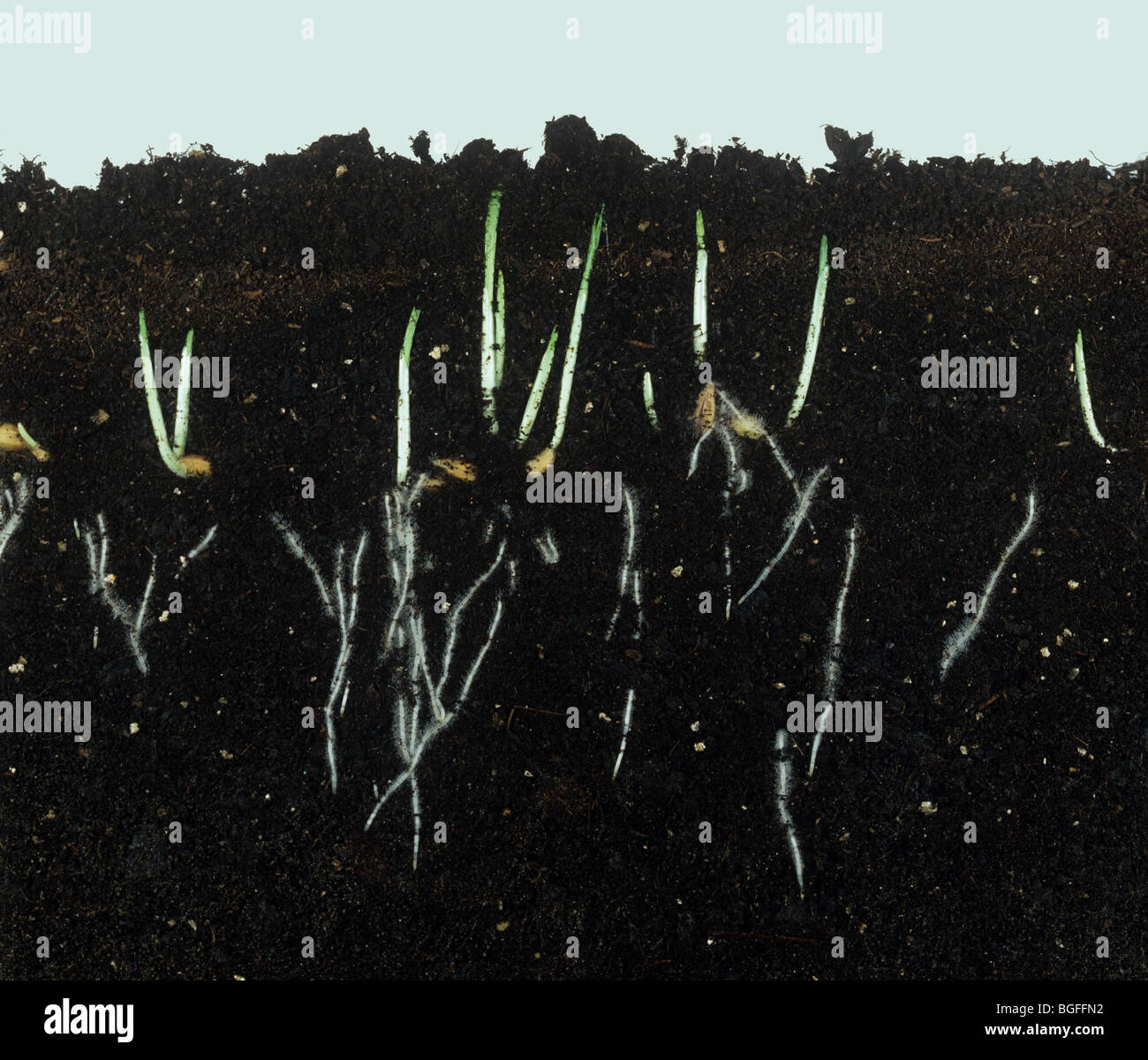 Germinating barley seeds showing young shoots and root development - Stock Image