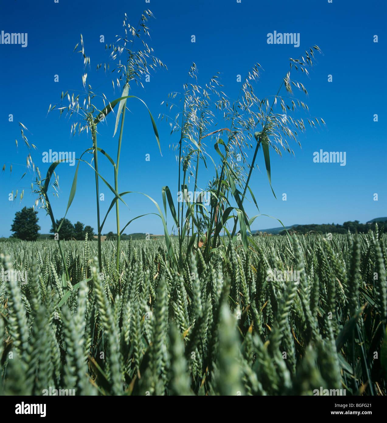 Wild oat (Avena fatua) panicles in wheat crop in ear Stock Photo