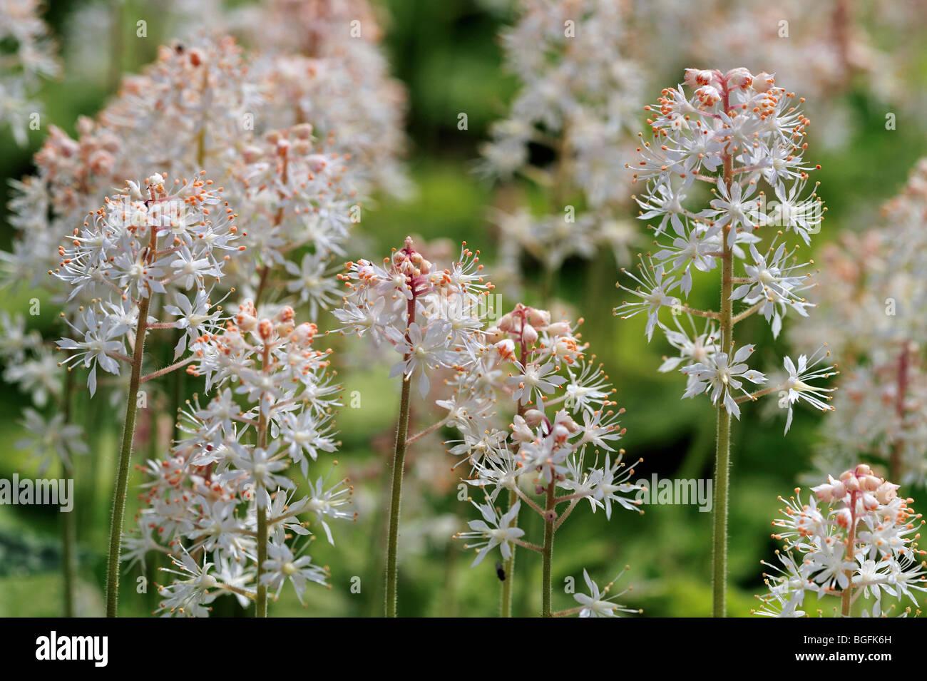 Heartleaved Foamflower / Allegheny Foam flower (Tiarella cordifolia), native to North America, US - Stock Image