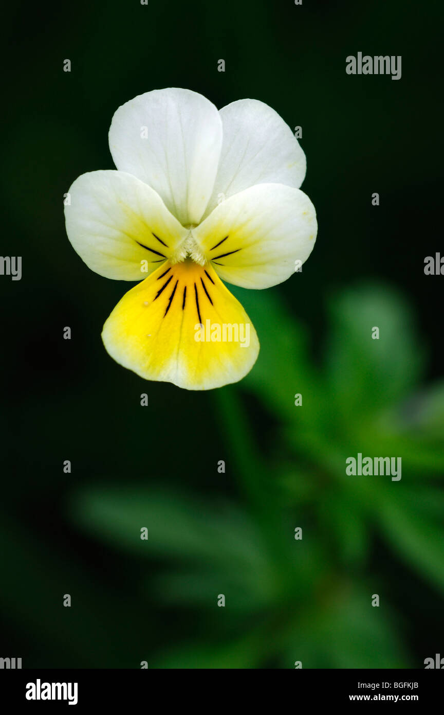 Wild pansy / heartsease / heart's ease (Viola tricolor) in flower in spring - Stock Image