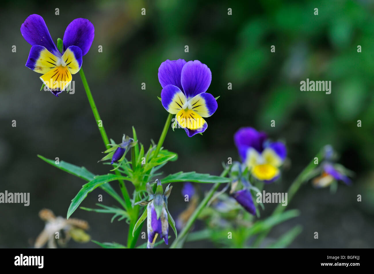 Wild pansies / heartsease / heart's ease (Viola tricolor) in flower in spring - Stock Image