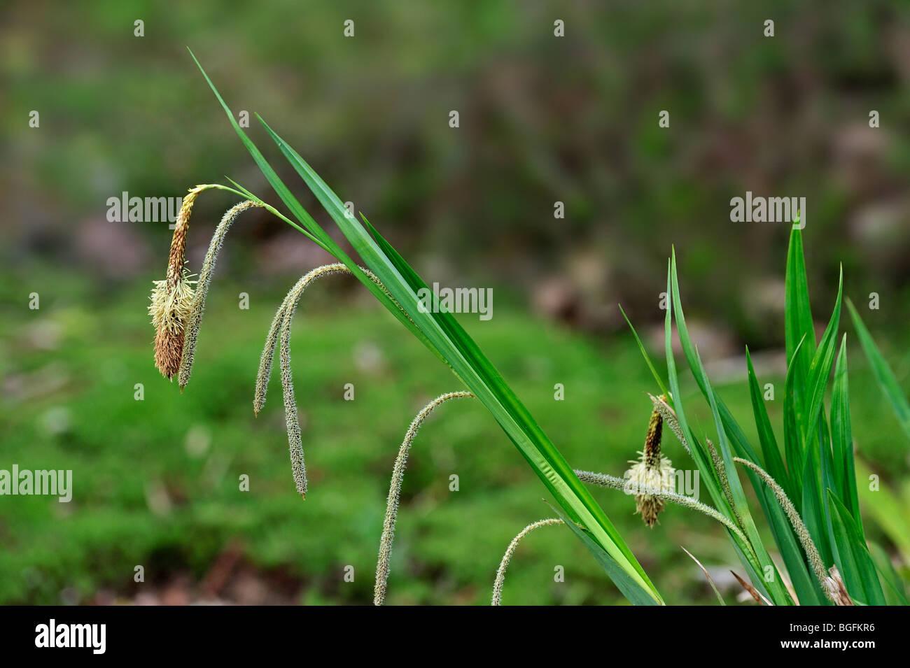Pendulous sedge / Hanging sedge / Drooping sedge / Weeping sedge (Carex pendula), Germany - Stock Image